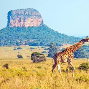 Giraffe im Gras vor Felsen